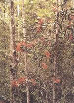 Belalong ormanlarının çiçekli ağaçlarından biri Jarum-Jarum (Ixora, Rubiaceae)